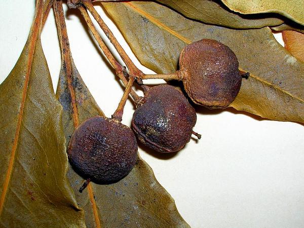Australian Cheesewood (Pittosporum Undulatum) https://www.sagebud.com/australian-cheesewood-pittosporum-undulatum