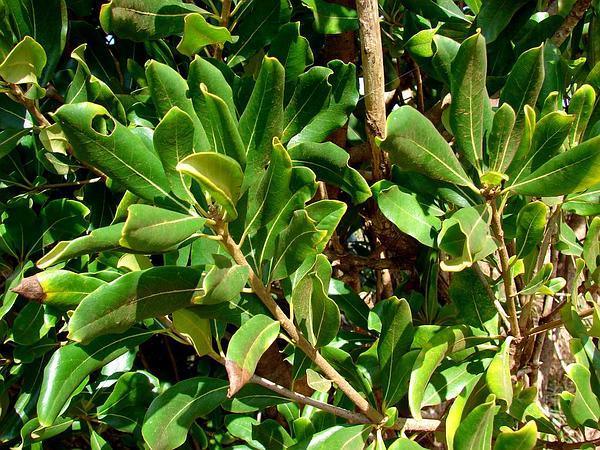 Cape Cheesewood (Pittosporum Viridiflorum) https://www.sagebud.com/cape-cheesewood-pittosporum-viridiflorum