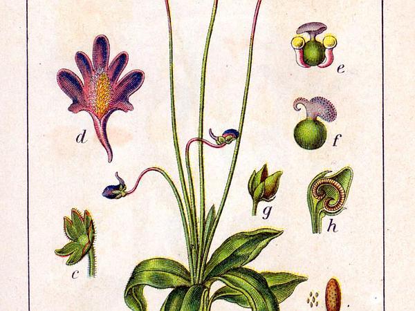 Common Butterwort (Pinguicula Vulgaris) https://www.sagebud.com/common-butterwort-pinguicula-vulgaris