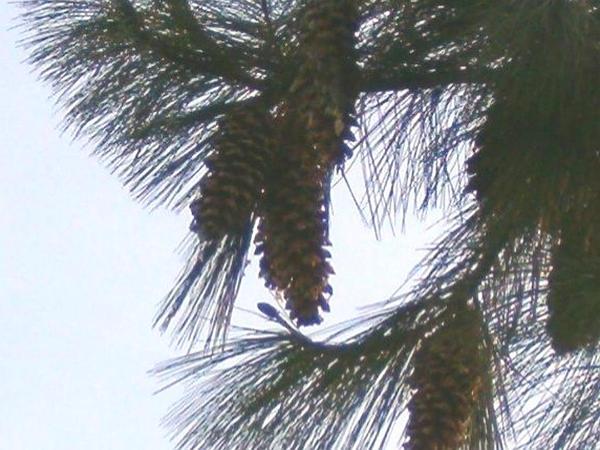Bhutan Pine (Pinus Wallichiana) https://www.sagebud.com/bhutan-pine-pinus-wallichiana
