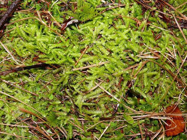 Plagiothecium Moss (Plagiothecium) https://www.sagebud.com/plagiothecium-moss-plagiothecium/