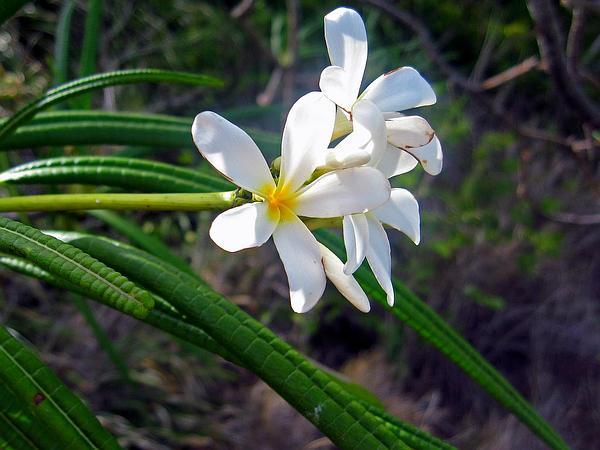 Nosegaytree (Plumeria Alba) https://www.sagebud.com/nosegaytree-plumeria-alba