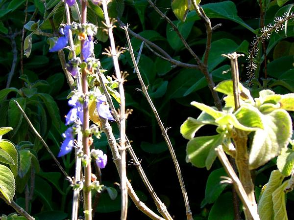 Mexican Mint (Plectranthus Amboinicus) https://www.sagebud.com/mexican-mint-plectranthus-amboinicus