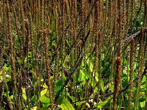 Plantain (Plantago) https://www.sagebud.com/plantain-plantago