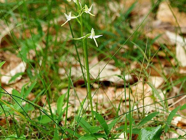 Fringed Orchid (Platanthera) https://www.sagebud.com/fringed-orchid-platanthera