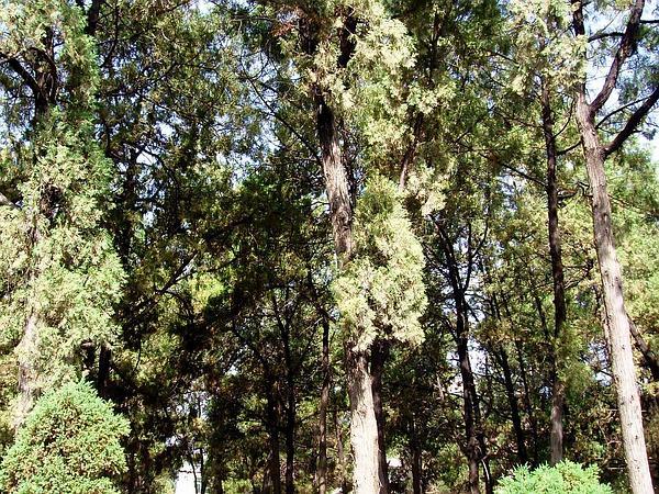 Platycladus (Platycladus) https://www.sagebud.com/platycladus-platycladus
