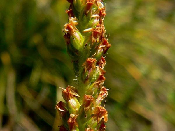Mexican Plantain (Plantago Australis) https://www.sagebud.com/mexican-plantain-plantago-australis