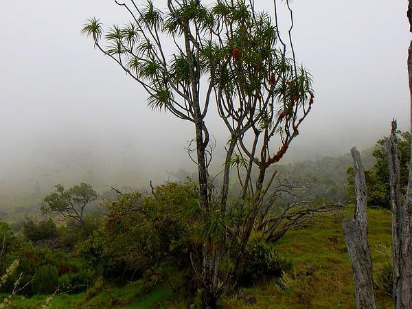 Maui Hala Pepe (Pleomele Auwahiensis) https://www.sagebud.com/maui-hala-pepe-pleomele-auwahiensis/