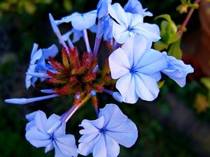 Cape Leadwort