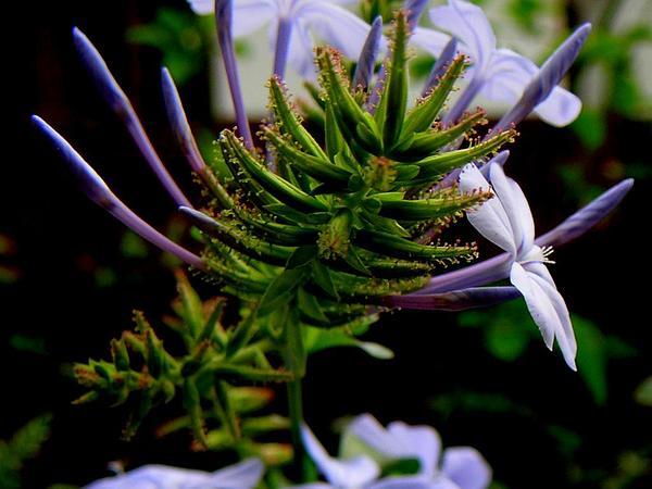 Cape Leadwort (Plumbago Auriculata) https://www.sagebud.com/cape-leadwort-plumbago-auriculata