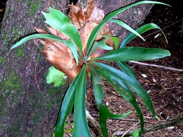 Elkhorn Fern (Platycerium Bifurcatum) https://www.sagebud.com/elkhorn-fern-platycerium-bifurcatum/