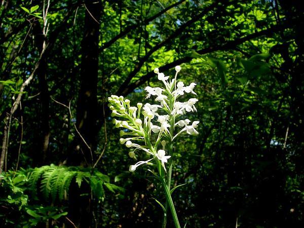 White Fringed Orchid (Platanthera Blephariglottis) https://www.sagebud.com/white-fringed-orchid-platanthera-blephariglottis