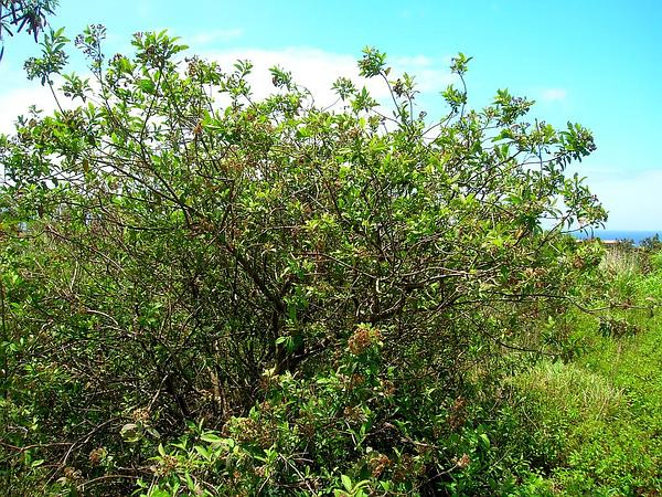 Cure For All (Pluchea Carolinensis) https://www.sagebud.com/cure-for-all-pluchea-carolinensis