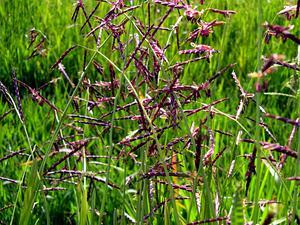 Annual Semaphoregrass