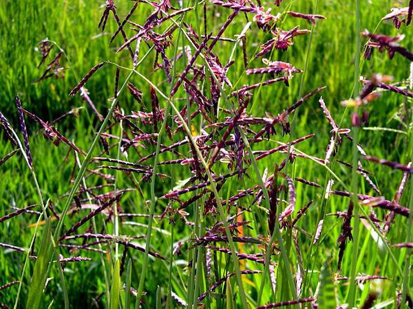 Annual Semaphoregrass (Pleuropogon Californicus) https://www.sagebud.com/annual-semaphoregrass-pleuropogon-californicus