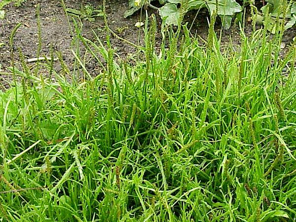 Buckhorn Plantain (Plantago Coronopus) https://www.sagebud.com/buckhorn-plantain-plantago-coronopus
