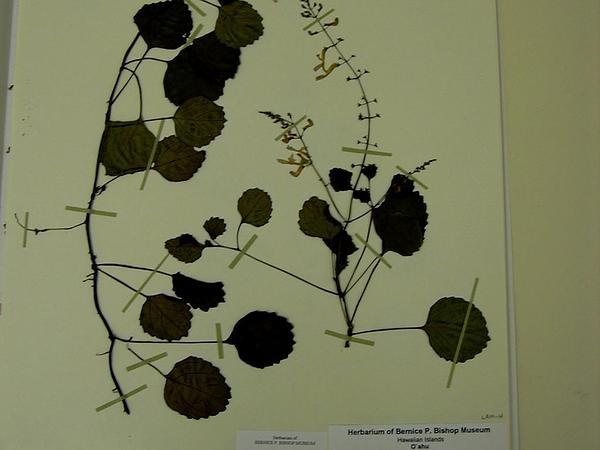 Plectranthus (Plectranthus) https://www.sagebud.com/plectranthus-plectranthus