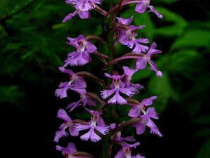 Greater Purple Fringed Orchid