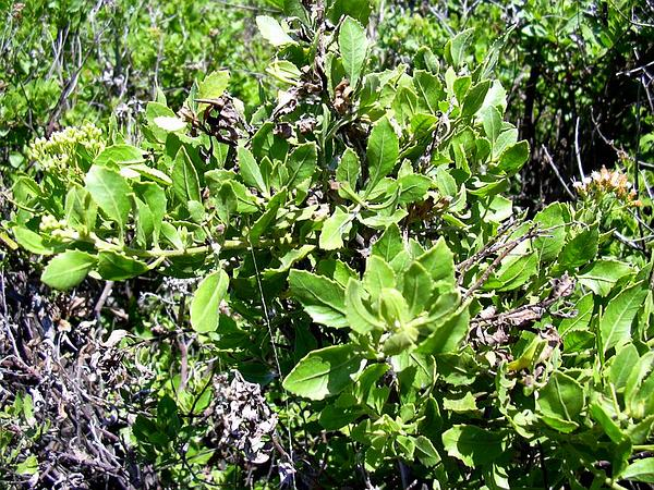 Indian Camphorweed (Pluchea Indica) https://www.sagebud.com/indian-camphorweed-pluchea-indica