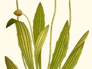 Narrowleaf Plantain