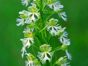 Prairie White Fringed Orchid