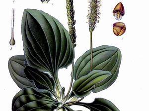Common Plantain