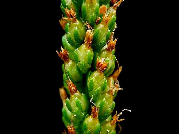 Common Plantain (Plantago Major) https://www.sagebud.com/common-plantain-plantago-major/