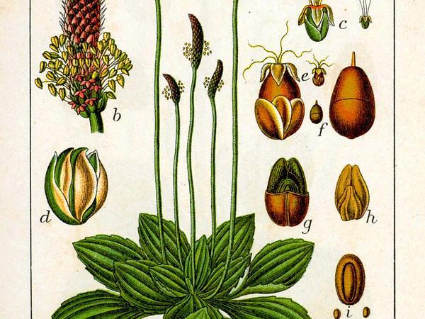 Hoary Plantain (Plantago Media) https://www.sagebud.com/hoary-plantain-plantago-media/