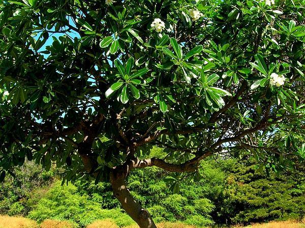 Singapore Graveyard Flower (Plumeria Obtusa) https://www.sagebud.com/singapore-graveyard-flower-plumeria-obtusa/