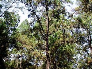 Oriental Arborvitae