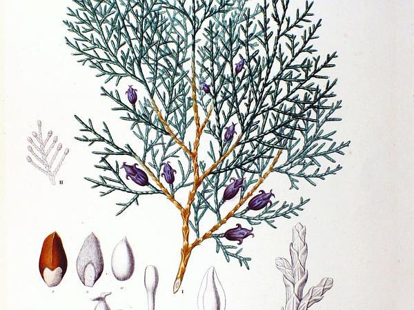 Oriental Arborvitae (Platycladus Orientalis) https://www.sagebud.com/oriental-arborvitae-platycladus-orientalis