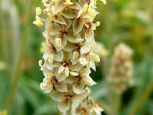 Desert Indianwheat