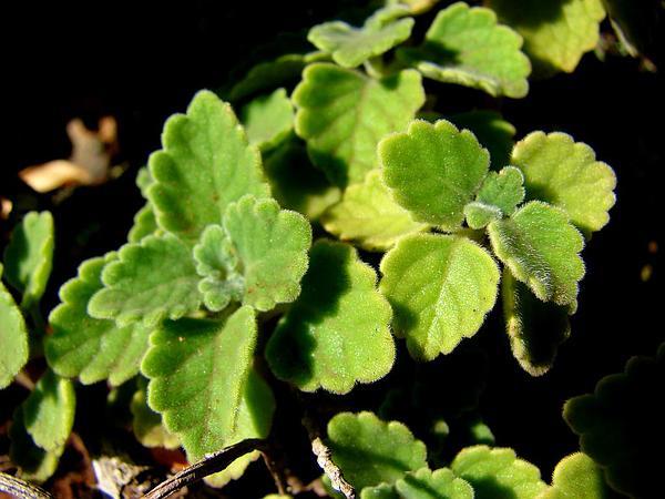Little Spurflower (Plectranthus Parviflorus) https://www.sagebud.com/little-spurflower-plectranthus-parviflorus