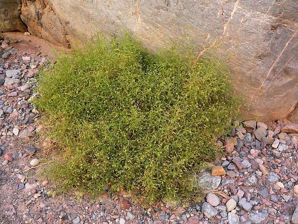 Bush Arrowleaf (Pleurocoronis Pluriseta) https://www.sagebud.com/bush-arrowleaf-pleurocoronis-pluriseta