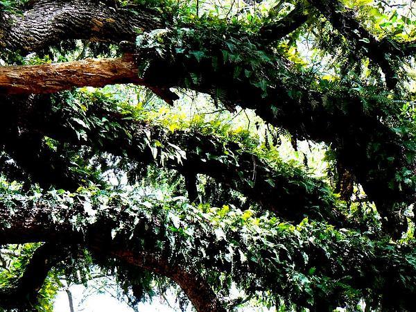 Resurrection Fern (Pleopeltis Polypodioides) https://www.sagebud.com/resurrection-fern-pleopeltis-polypodioides
