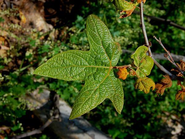 California Sycamore (Platanus Racemosa) https://www.sagebud.com/california-sycamore-platanus-racemosa