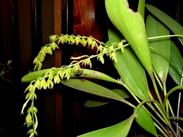 Ladies' Bonnet Orchid (Pleurothallis Racemiflora) https://www.sagebud.com/ladies-bonnet-orchid-pleurothallis-racemiflora/