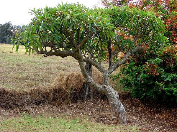 Templetree (Plumeria Rubra) https://www.sagebud.com/templetree-plumeria-rubra