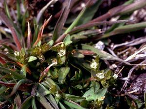 Scouler's Popcornflower