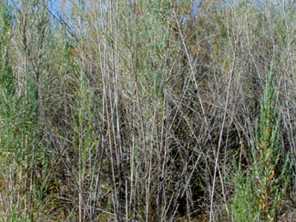 Arrowweed (Pluchea Sericea) https://www.sagebud.com/arrowweed-pluchea-sericea