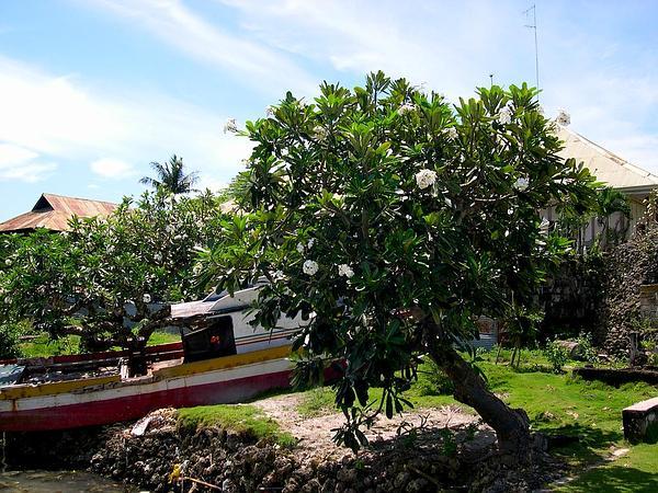 Plumeria (Plumeria) https://www.sagebud.com/plumeria-plumeria