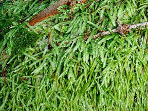 Undulate Plagiothecium Moss (Plagiothecium Undulatum) https://www.sagebud.com/undulate-plagiothecium-moss-plagiothecium-undulatum