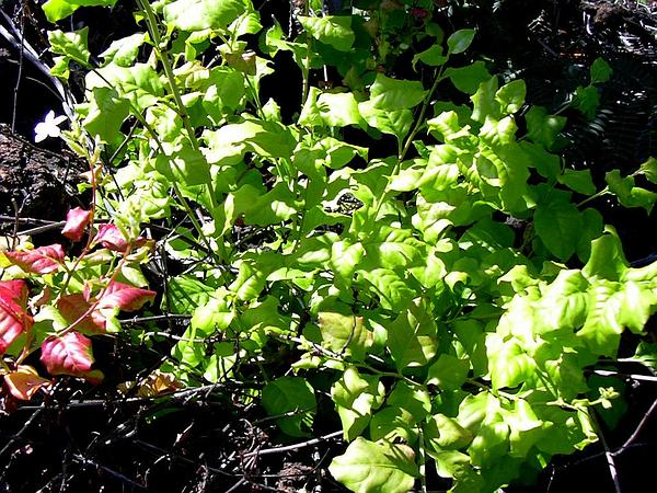 Wild Leadwort (Plumbago Zeylanica) https://www.sagebud.com/wild-leadwort-plumbago-zeylanica