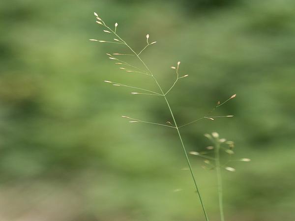 Bluegrass (Poa) https://www.sagebud.com/bluegrass-poa