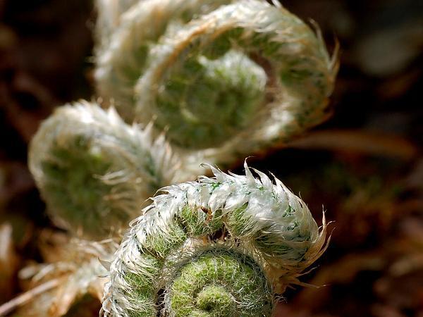 Christmas Fern (Polystichum Acrostichoides) https://www.sagebud.com/christmas-fern-polystichum-acrostichoides