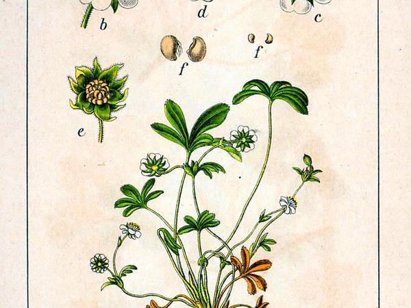 White Cinquefoil (Potentilla Alba) https://www.sagebud.com/white-cinquefoil-potentilla-alba/