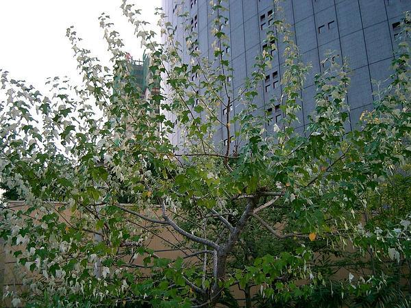 White Poplar (Populus Alba) https://www.sagebud.com/white-poplar-populus-alba/
