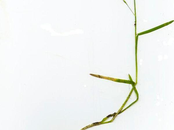 Annual Bluegrass (Poa Annua) https://www.sagebud.com/annual-bluegrass-poa-annua