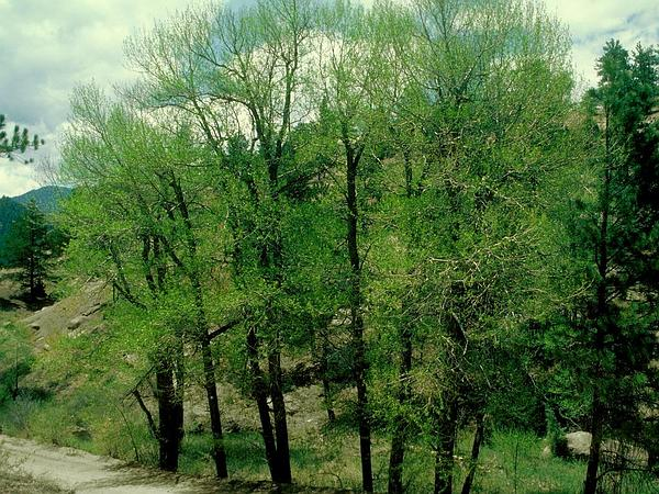 Narrowleaf Cottonwood (Populus Angustifolia) https://www.sagebud.com/narrowleaf-cottonwood-populus-angustifolia/