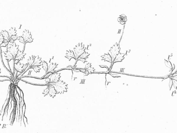 English Cinquefoil (Potentilla Anglica) https://www.sagebud.com/english-cinquefoil-potentilla-anglica